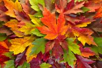 maple-leaves-mixed-fall-colors-background-david-gn